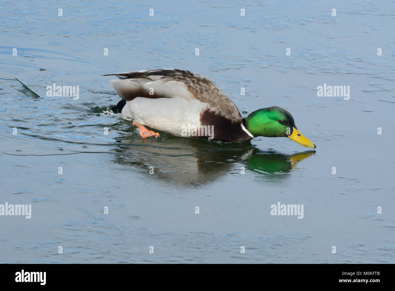 Mallard duck drake trying to swim in icy water in winter lake - Stock Image