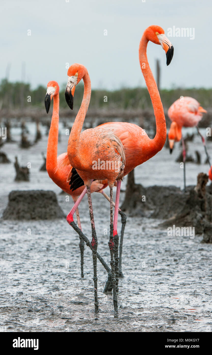 American Flamingos or Caribbean flamingos ( Phoenicopterus ruber ruber). Colony of Great Flamingo the on nests. - Stock Image