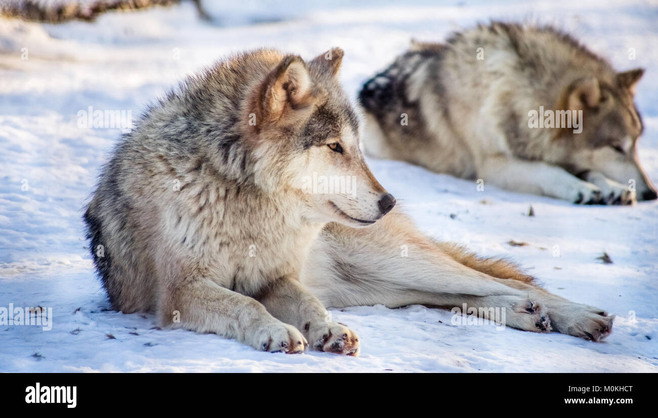 Gray Wolf Looking Right - Stock Image