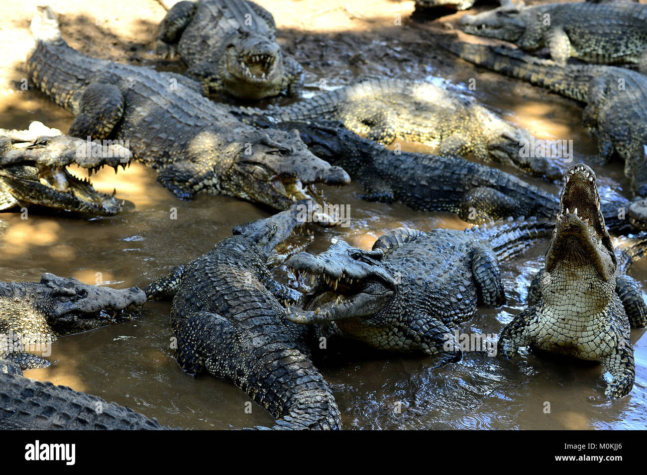 Group of Cuban Crocodiles (crocodylus rhombifer). Image taken in a natural park in the island of Cuba - Stock Image