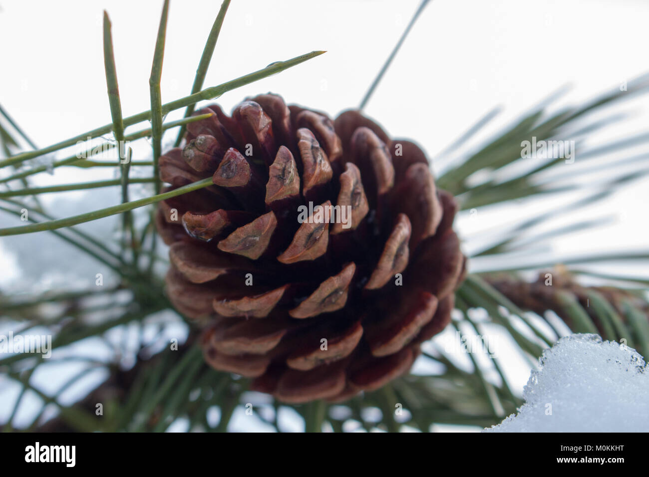 23 Jan 2018 A Pine Cone (Conifer Cone) in the morning on a snowy day. - Stock Image