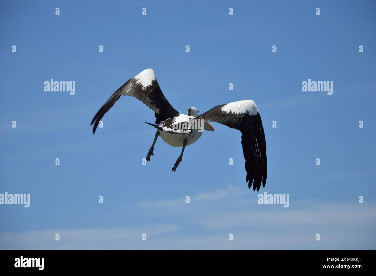 Pelican in half flight with wings half extended. - Stock Image