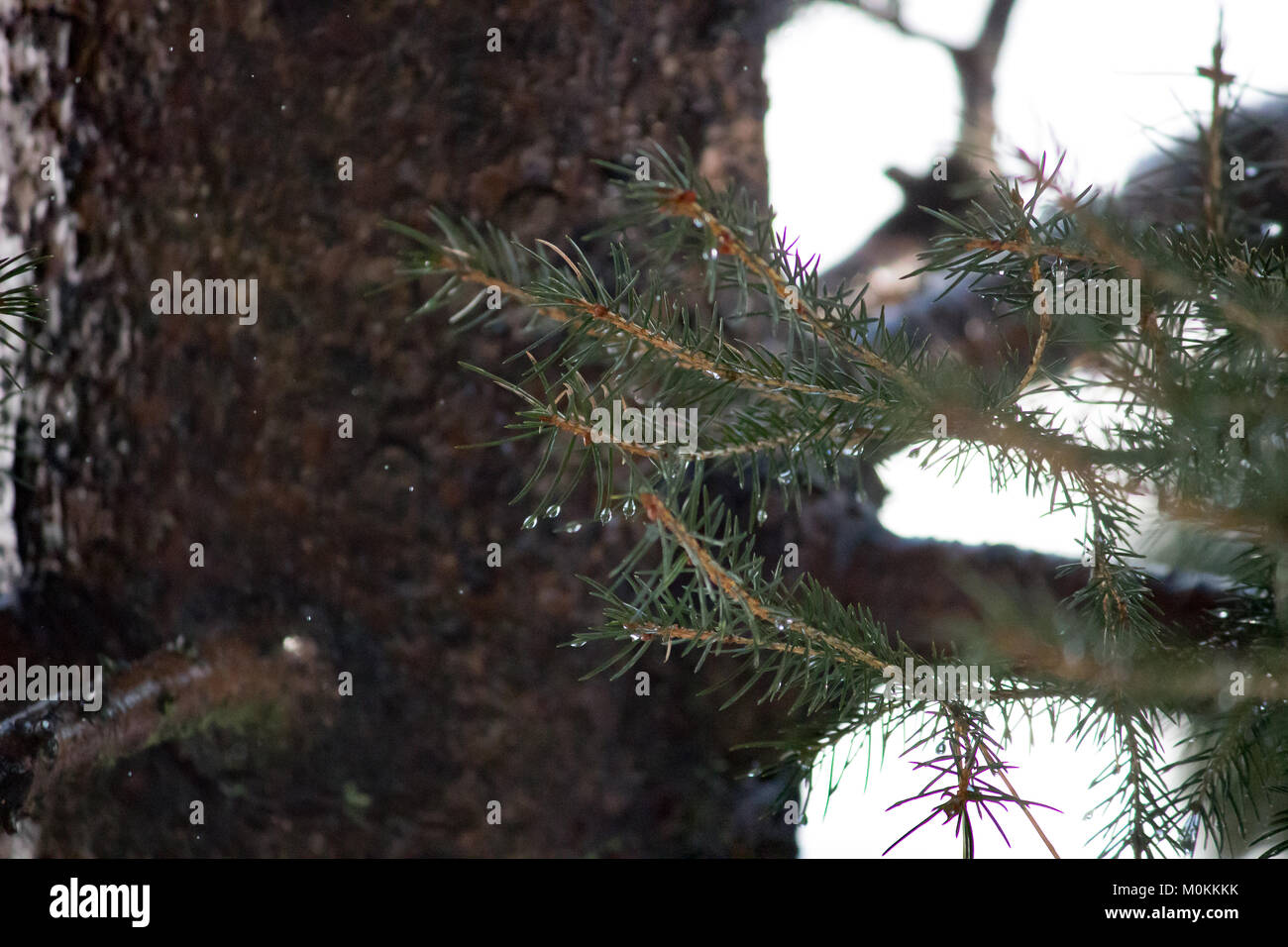23 January 2018 Water drops on the leaves of Norway Spruce tree in Japan - Stock Image