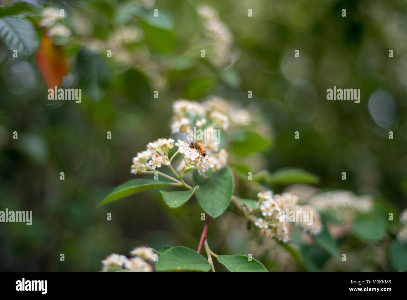 Bee pollinating on small white flowers with blurred background. - Stock Image