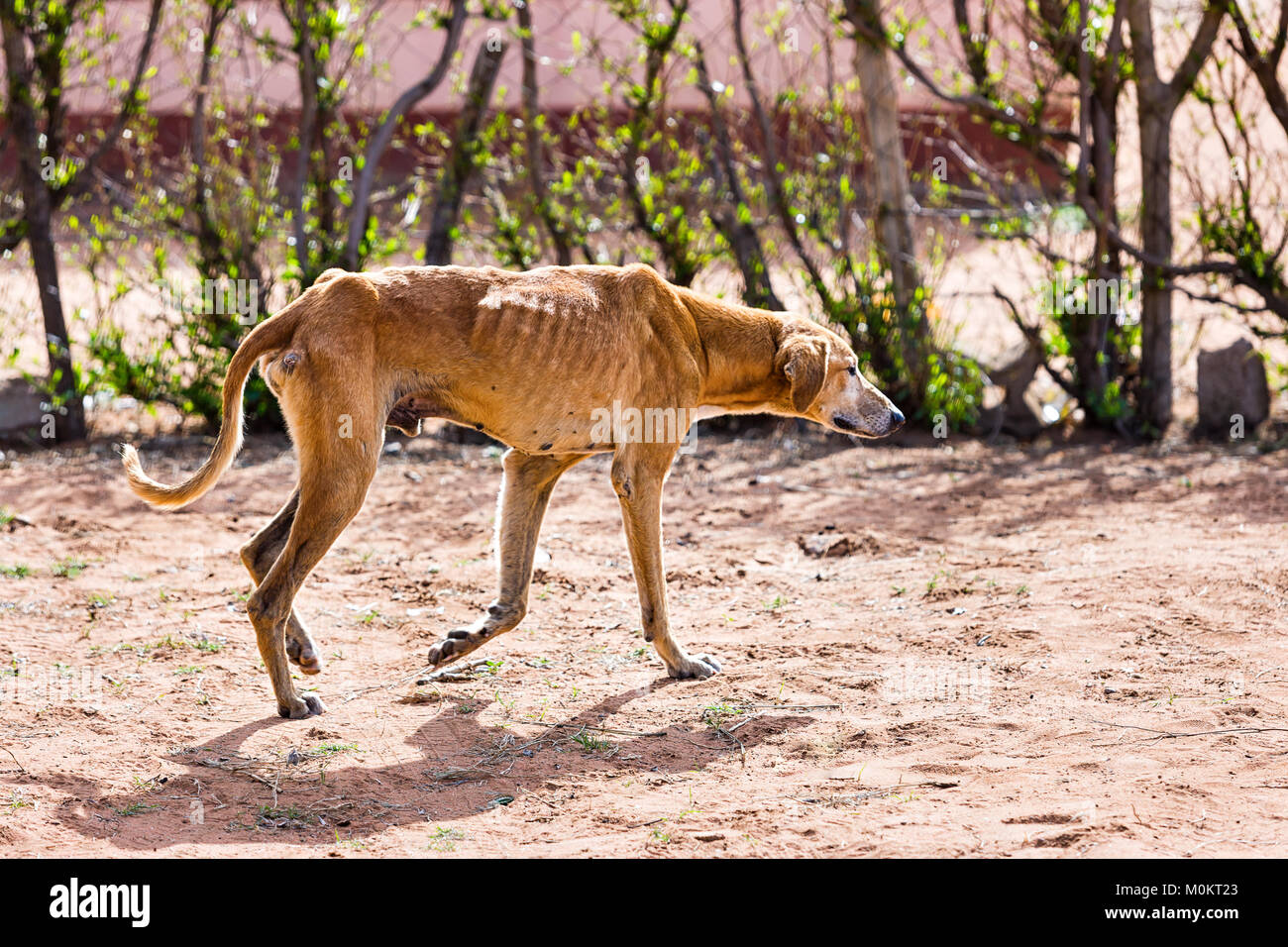 starving dog wounded and infested with fleas and ticks, animal cruelty Stock Photo