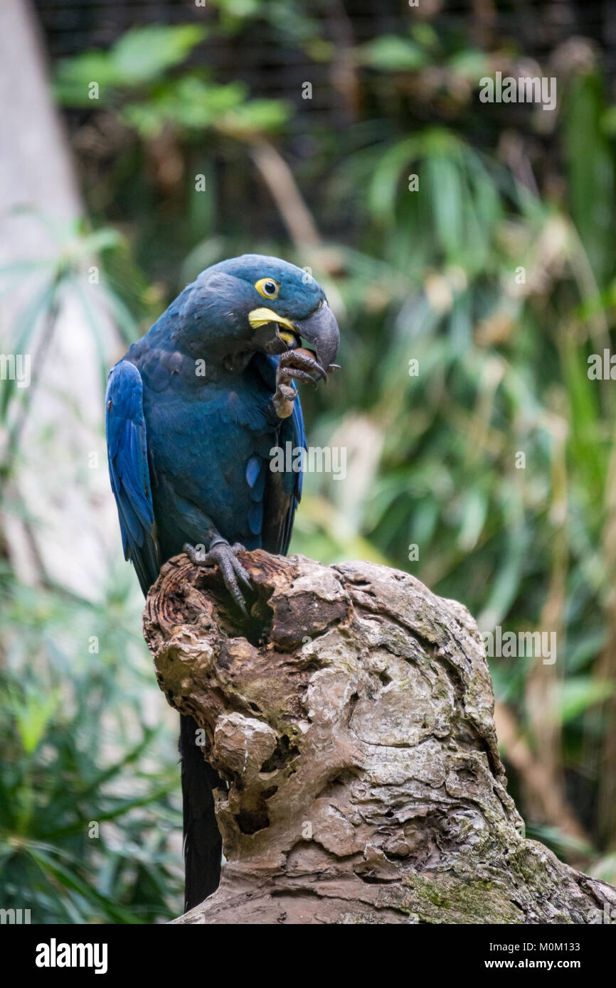 Hyacinth Macaw Parrot sitting in Branch and Cracking a Nut, South America - Stock Image