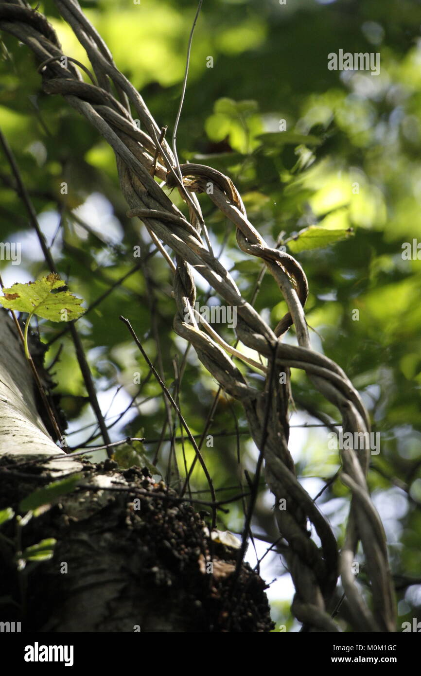 Lianas in a forest - Stock Image