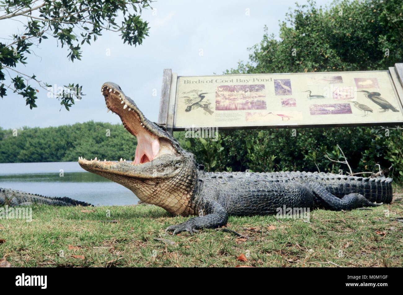 American Alligator, Everglades national park, Florida, USA / (Alligator mississippiensis) | Mississippi-Alligator, Everglades Nationalpark, Florida Stock Photo