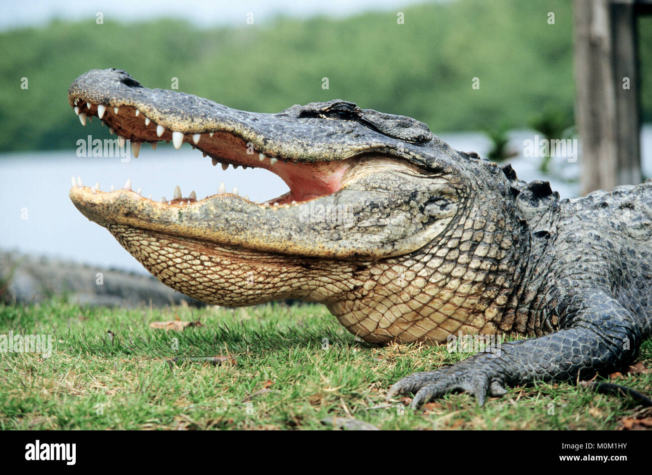 American Alligator, Everglades national park, Florida, USA / (Alligator mississippiensis) | Mississippi-Alligator, - Stock Image
