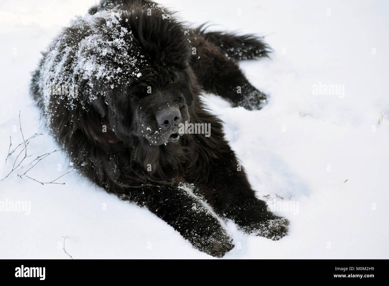 Old Newfoundland dog enjoying snow on beautiful winter day. - Stock Image
