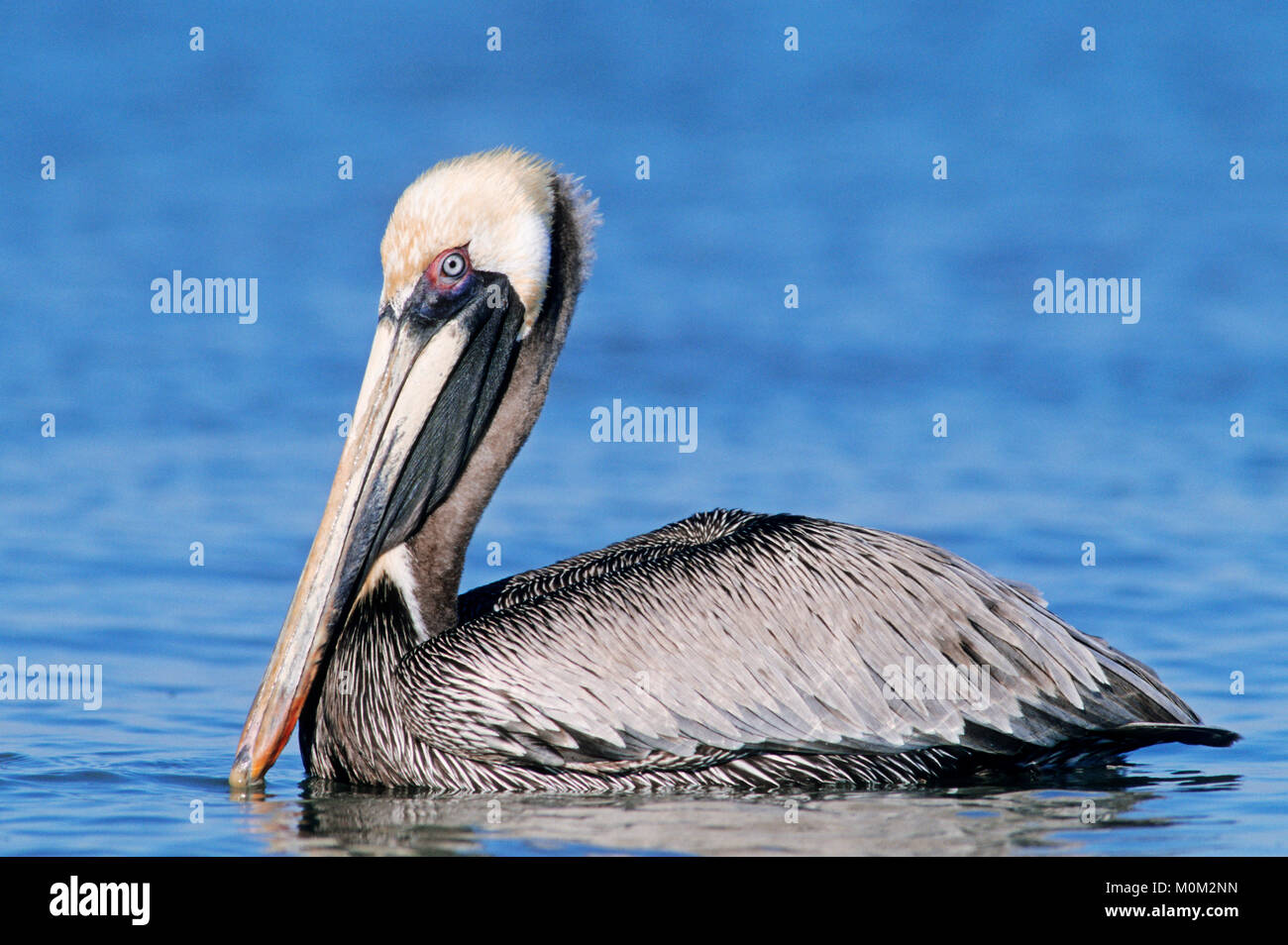 Brown Pelikan, Sanibel Island, Florida, USA / (Pelecanus occidentalis) | Braunpelikan, Sanibel Island, Florida, Stock Photo