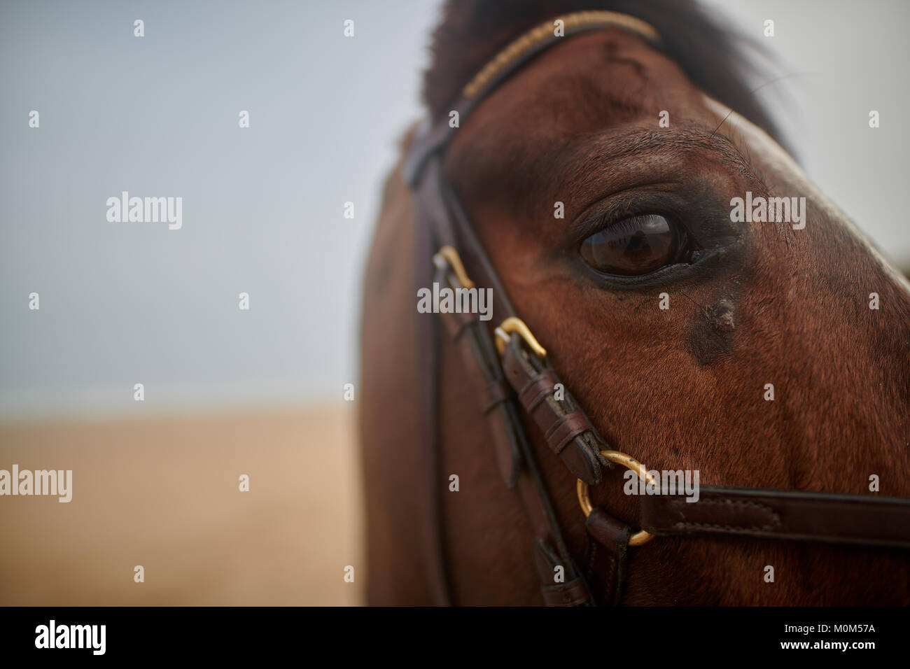 Horse eye close up taken on a beach with full riding gear equipped, male horse with a narrow depth of field. - Stock Image
