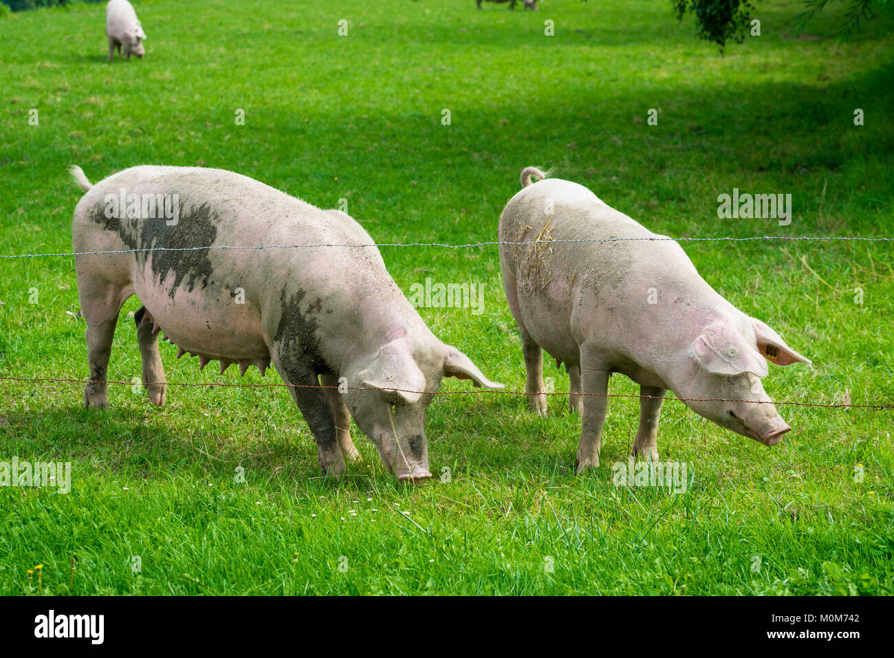 pig  standing on a grass lawn. The pig on the meadow - Stock Image