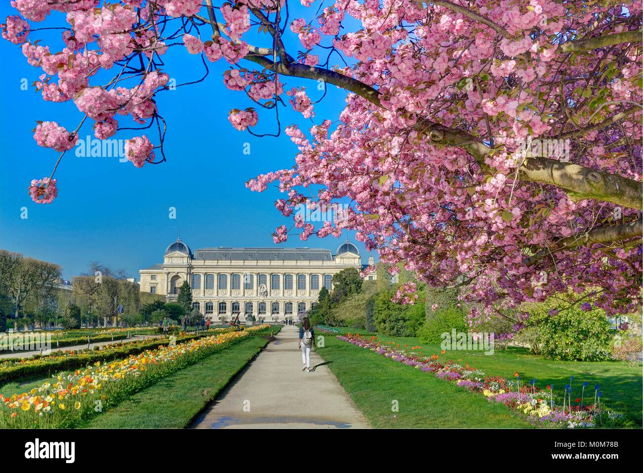 France,Paris,the Plants Gardens with a japanese cherry-tree (Prunus serrulata) in blossom and the Grand Gallery - Stock Image