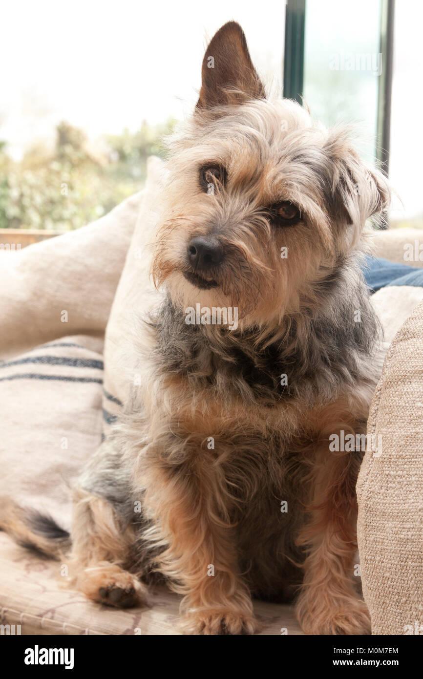 Terrier dog, adult mongrel, - Stock Image