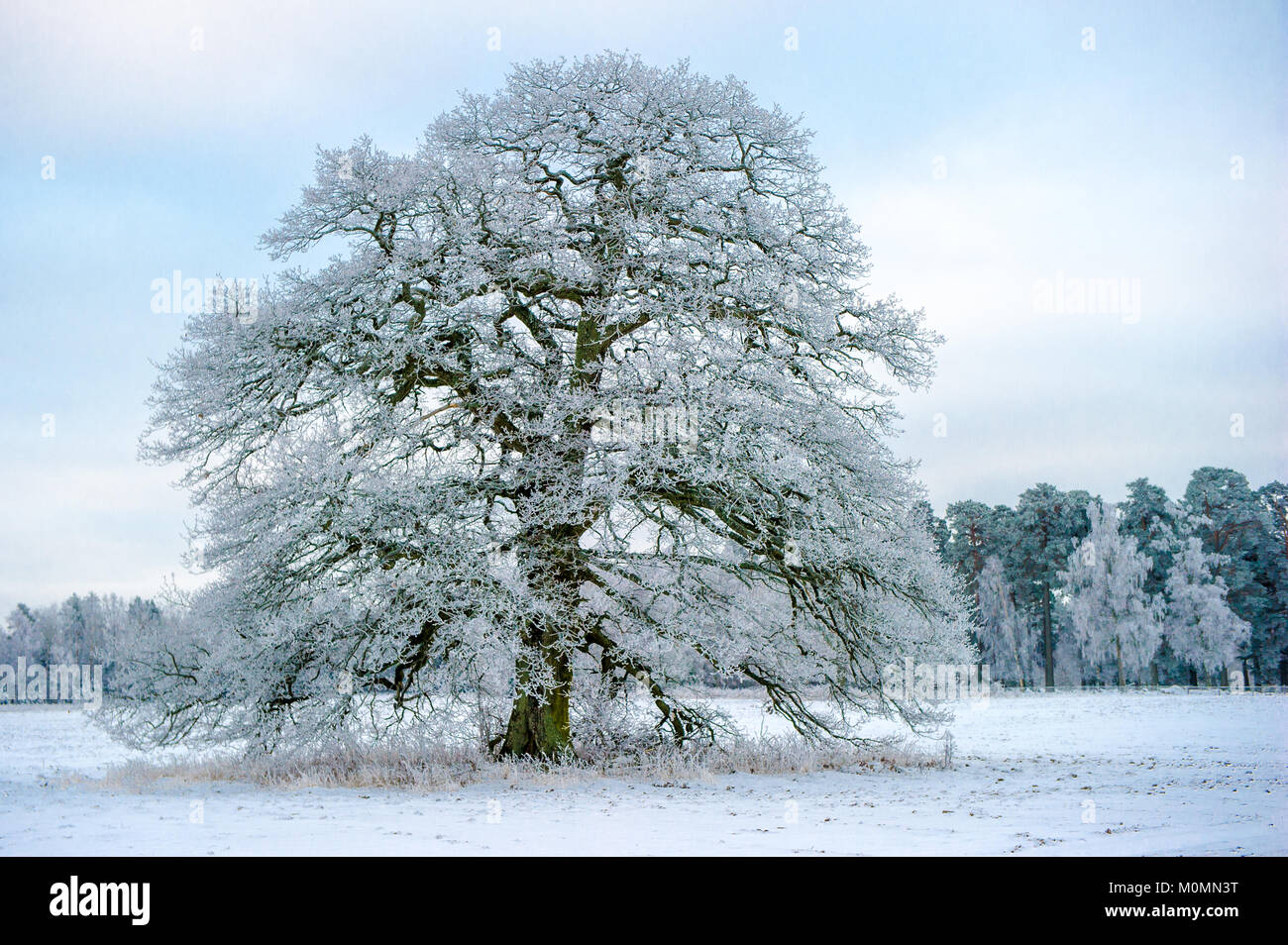 A Frosty Grand Old Oak a january day in Uppland, Sweden - Stock Image