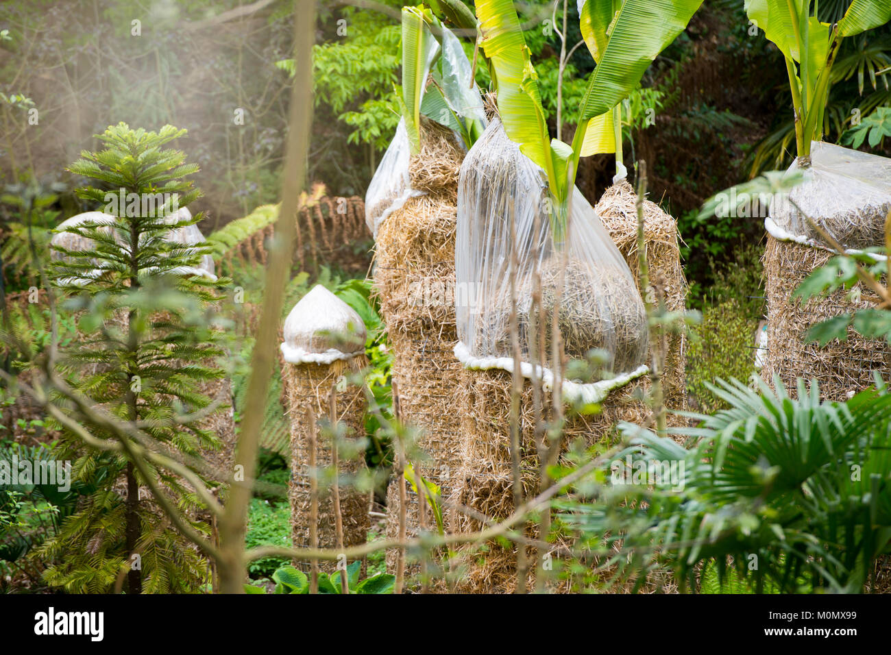 Banana Palm trees with crowns covered in fleece and straw to protect from winter weather - Stock Image