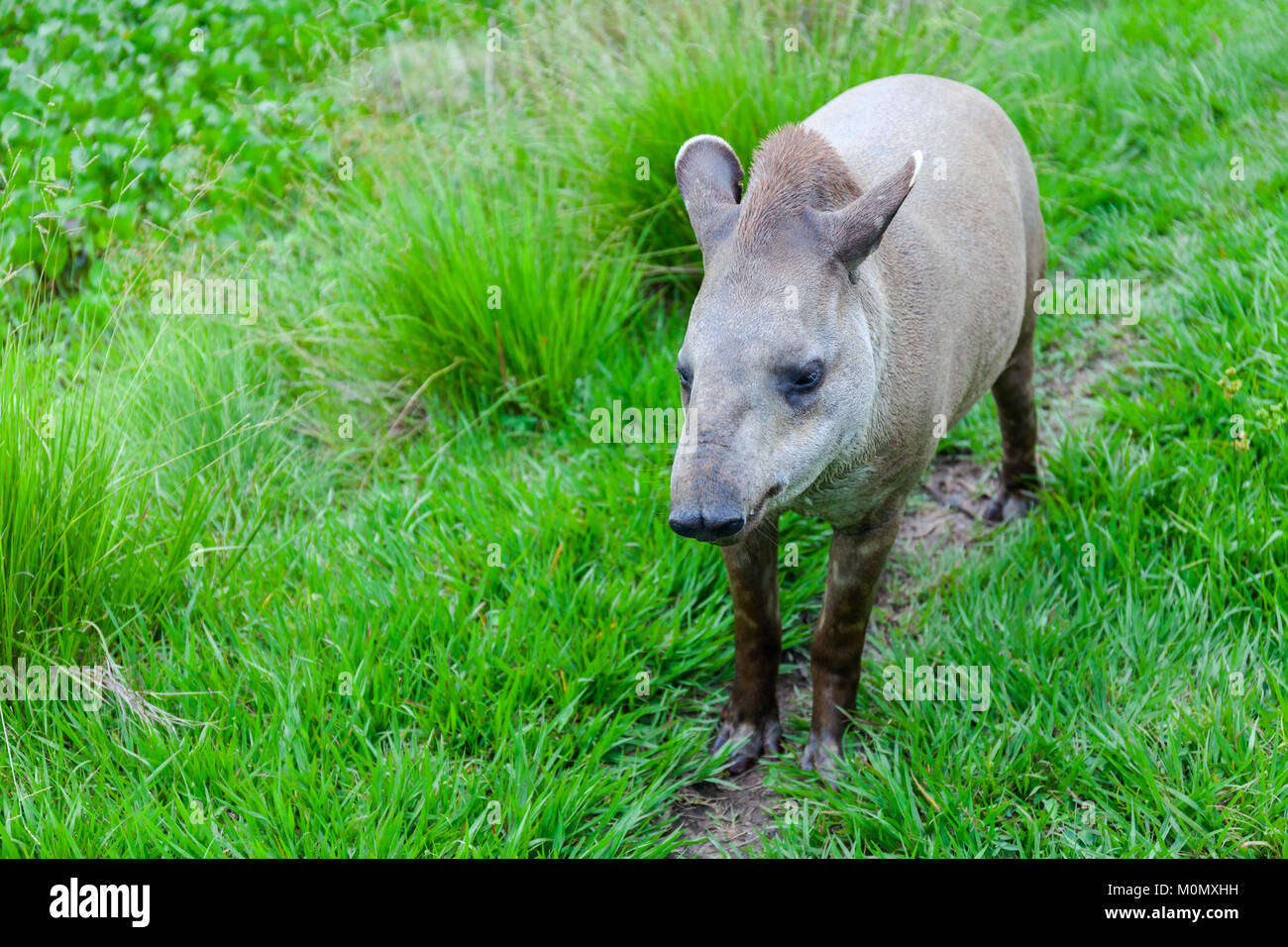 Closeup photo of a South American Tapir Scientific Name: Tapirus terrestris Stock - Stock Image