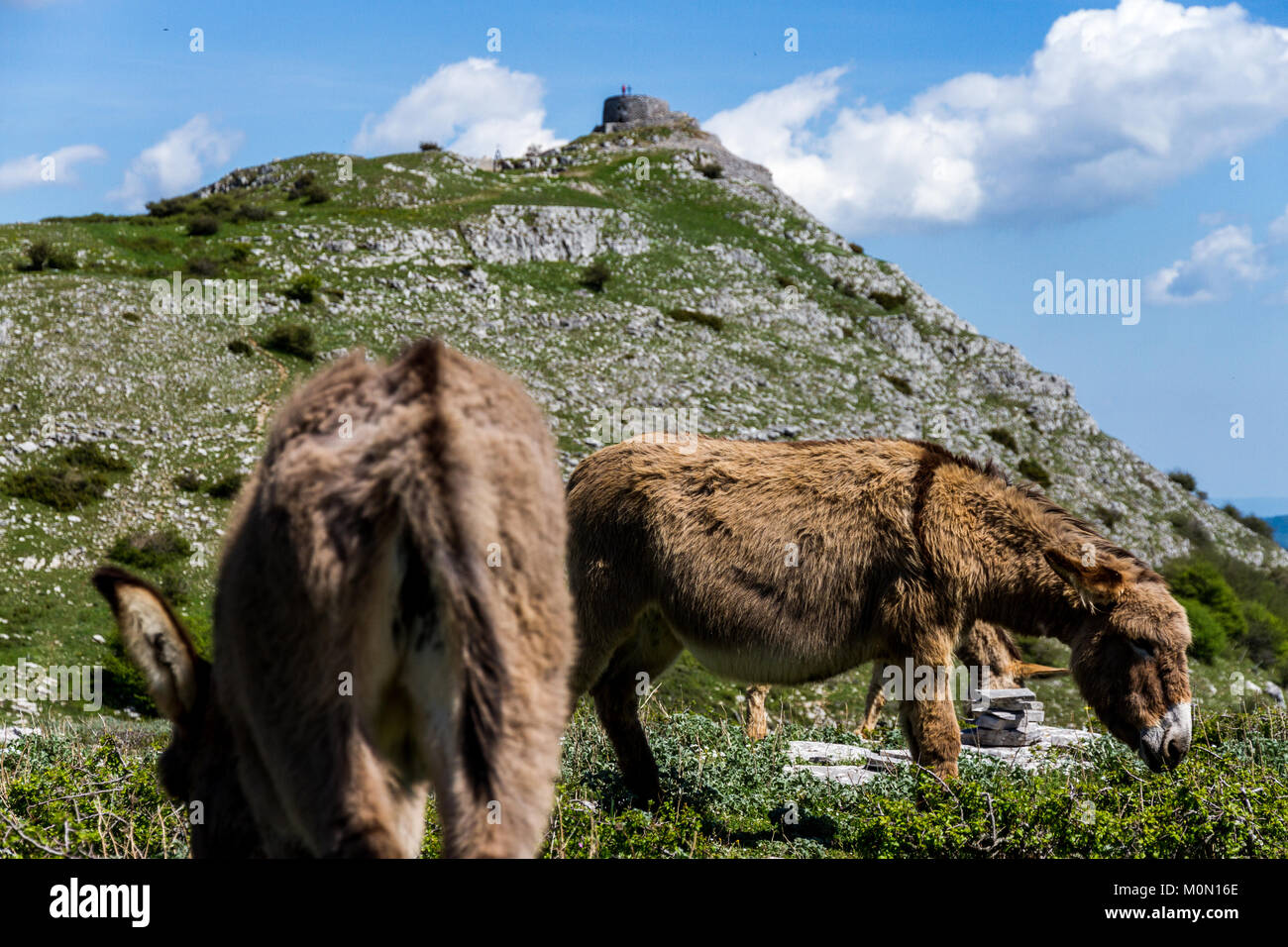 Donkey and goat stock photos donkey and goat stock for Asino amiatino