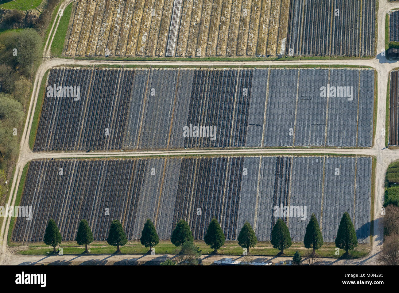 Number of sequoias (Sequoioideae) family of cypress family before production rows of fruit trees, garden nursery Krämer, aerial photograph of Detmold, Stock Photo