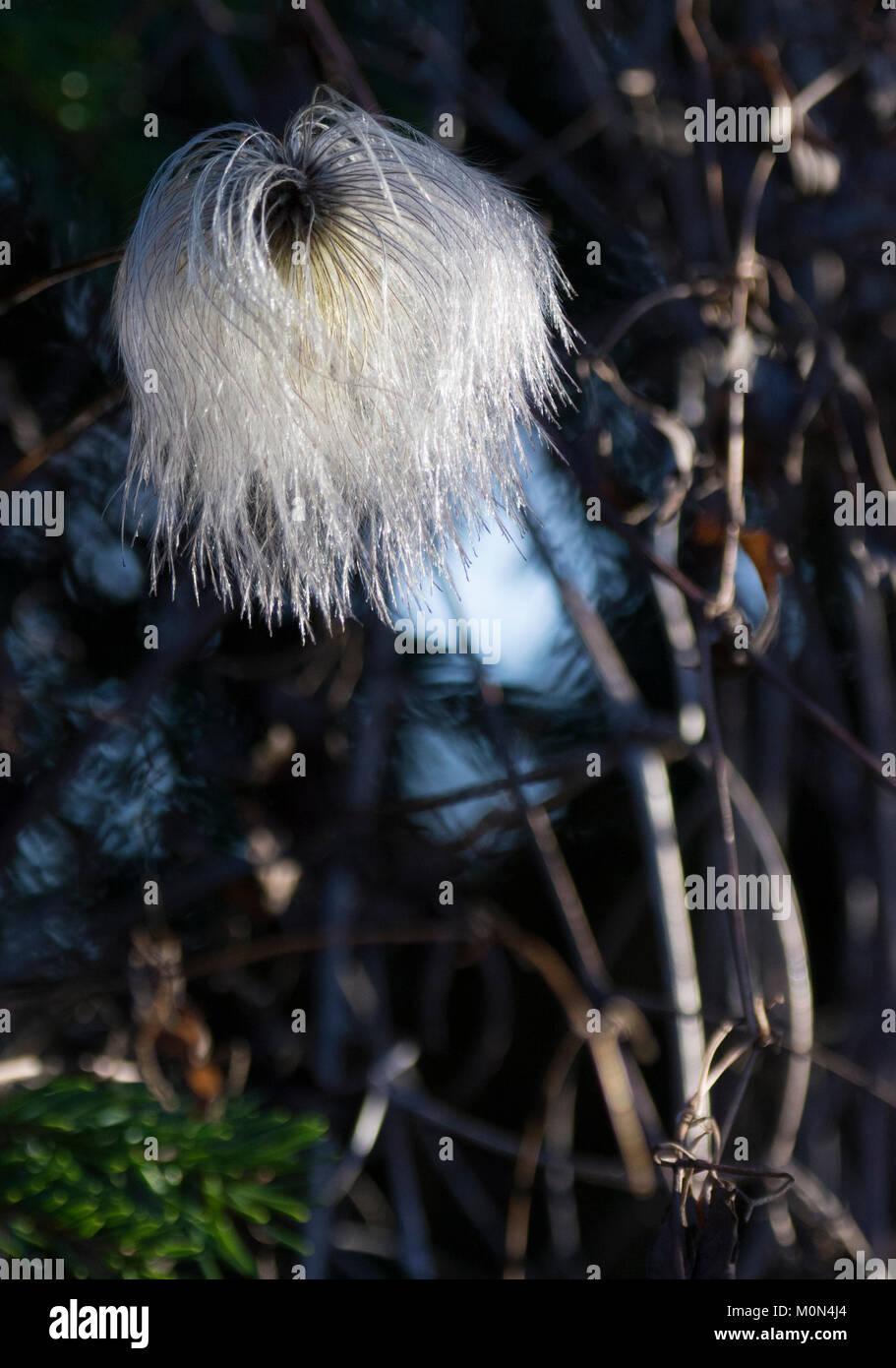 Old mans beard (Clematis vitalba) flower - Stock Image