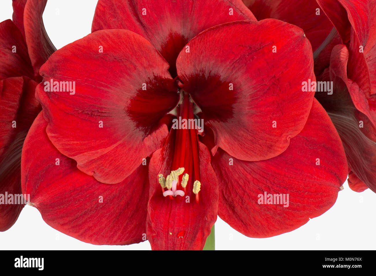 Deep red flowers from large bulb of Amaryllis, Hippeastrum spp, at Christmas Stock Photo