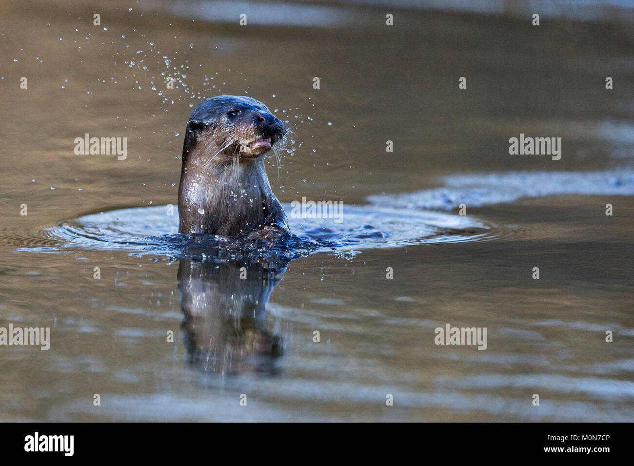 Common Otter (Lutra lutra) - Stock Image