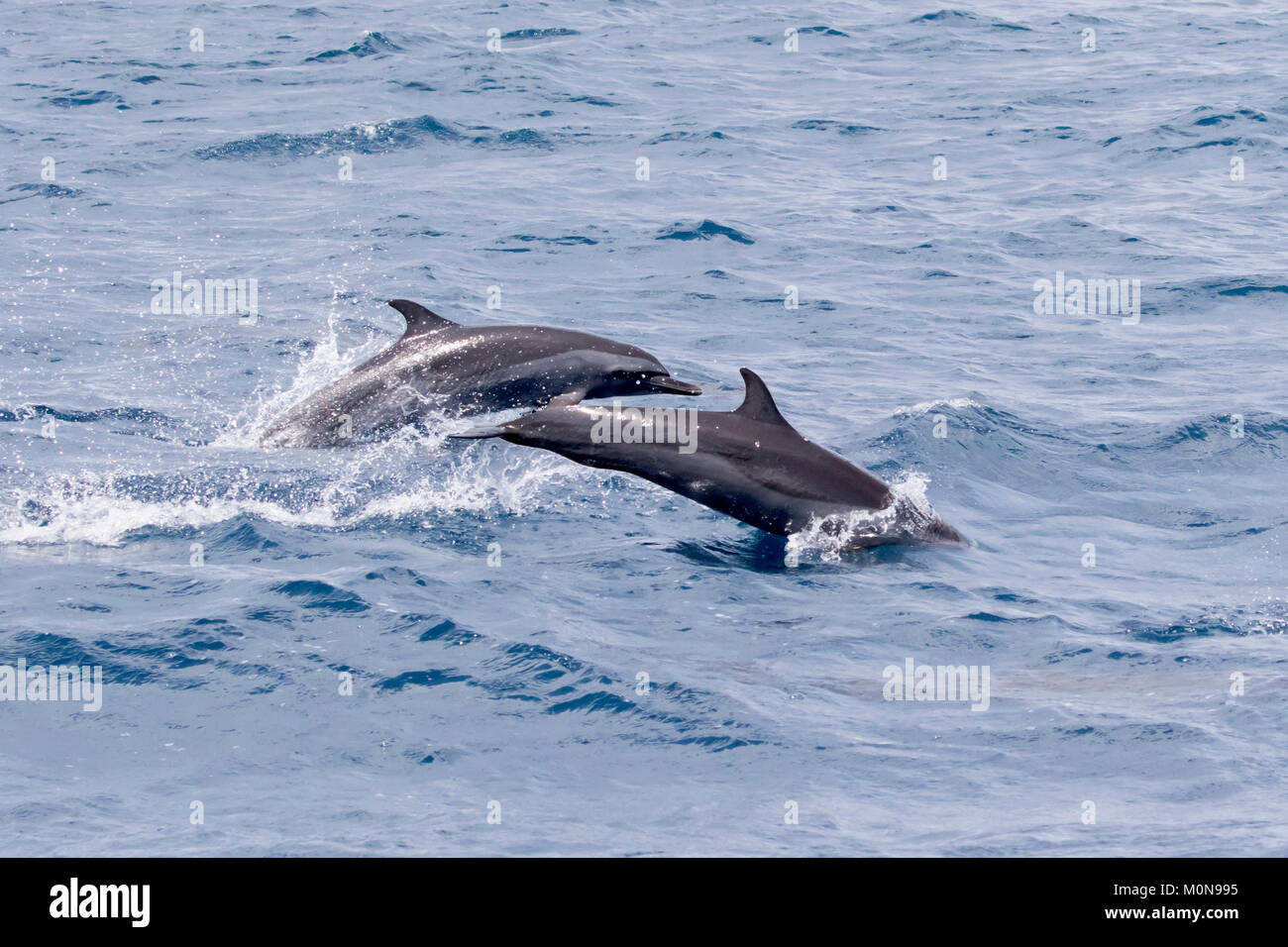 Pantropical Spotted Dolphin (Stenella attenuata) jumping and socializing near to our boat Stock Photo