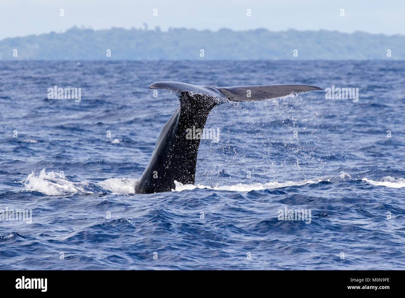 Female Sperm Whale (Physeter macrocephalus) surfacing for breath before diving down. They sometimes getting curious Stock Photo