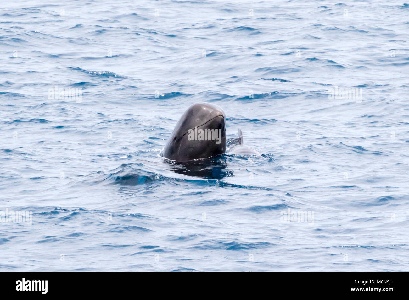 Short-finned Pilot Whale (Globicephala macrorhynchus) family occurring in large pod hanging around the boat Stock Photo