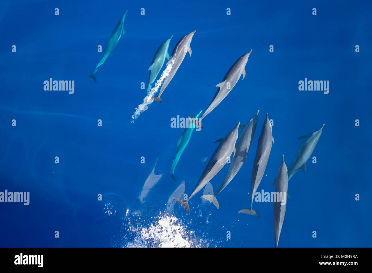Pantropical Spotted Dolphin (Stenella attenuata) coming over for bowriding in a large pod Stock Photo