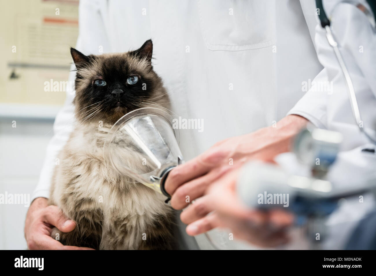 Vet checking cat for symptoms of disease in veterinarian clinic  - Stock Image