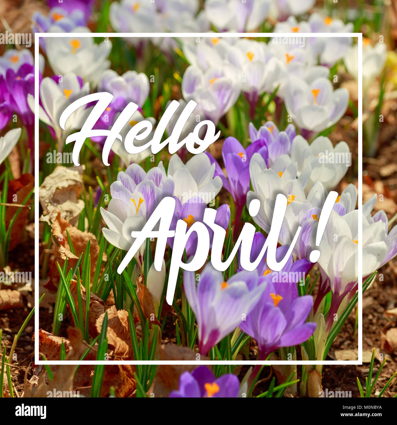 Inspirational quote 'Hello April' with crocus flowers. - Stock Image