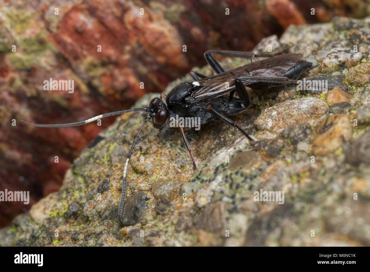 Ichneumonid Wasp on a brief walkabout from its hibernation spot inside the bark of a fencepost. Tipperary, Ireland. - Stock Image