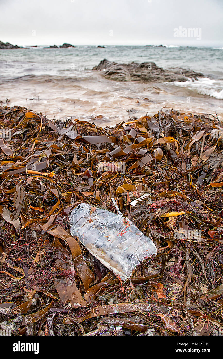 Squashed discarded plastic drinks bottle left to lie in seaweed on the beach at  Llanfaelog - Porth Nobla Beach, - Stock Image
