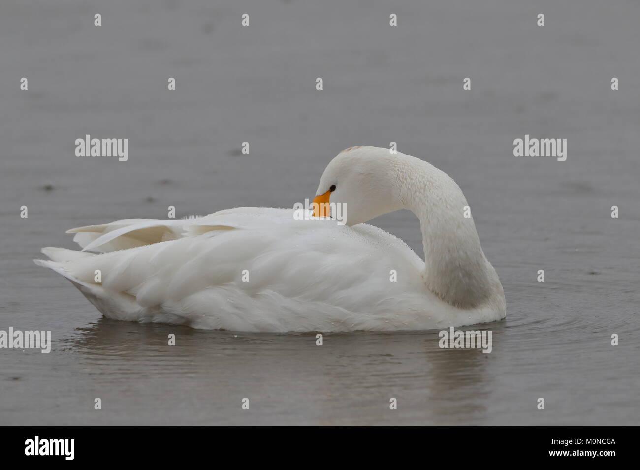 Adult Bewick`s Swan Stock Photo