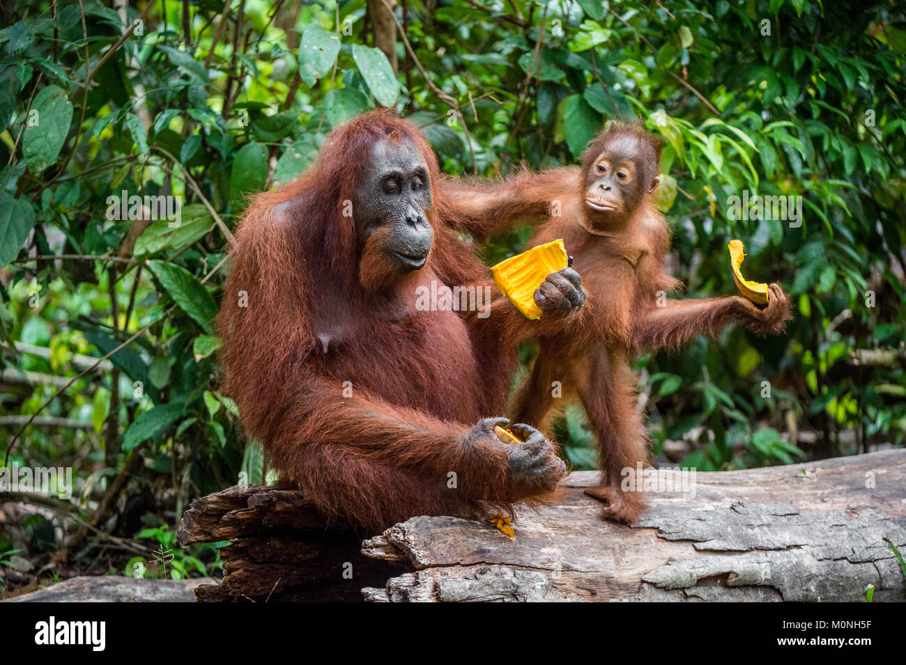 Mother orangutan and cub. Bornean orangutan (Pongo  pygmaeus wurmbii) in the wild nature. Rainforest of Island Borneo. - Stock Image