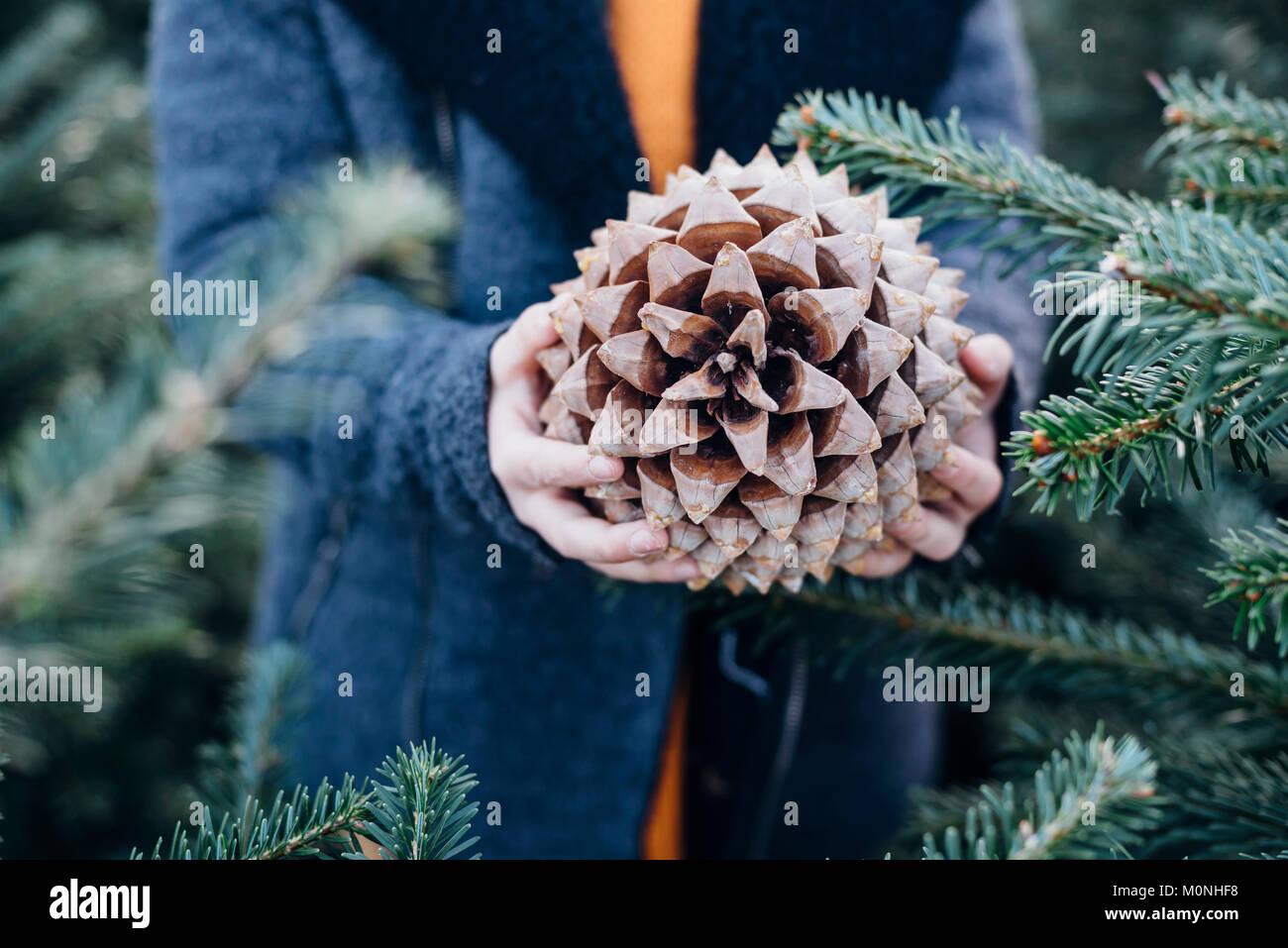 Tannenbaum Aachen.Pinienzapfen Stock Photos Pinienzapfen Stock Images Alamy