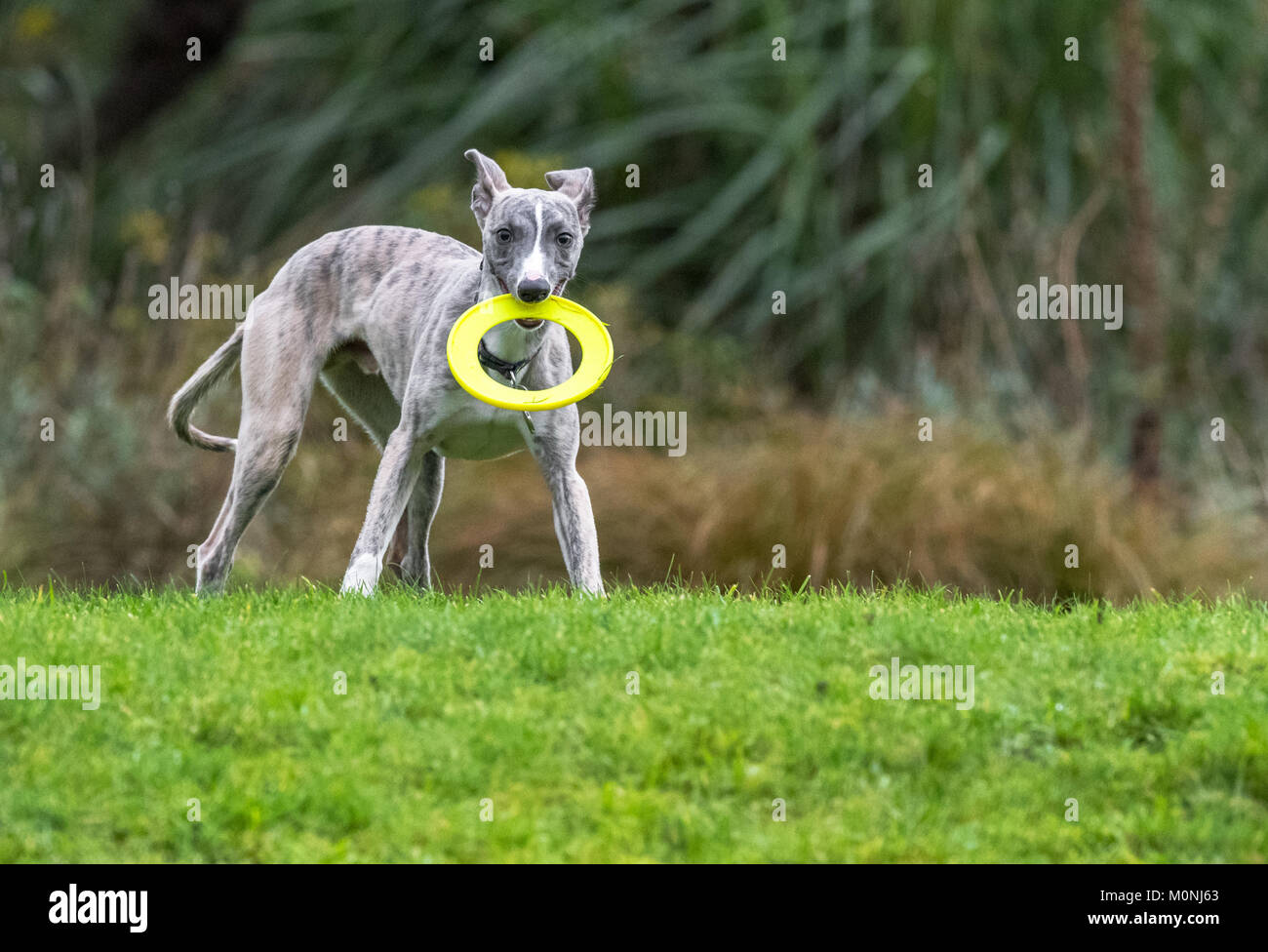 Whippet pup with a plastic teething ring come frisbee. - Stock Image