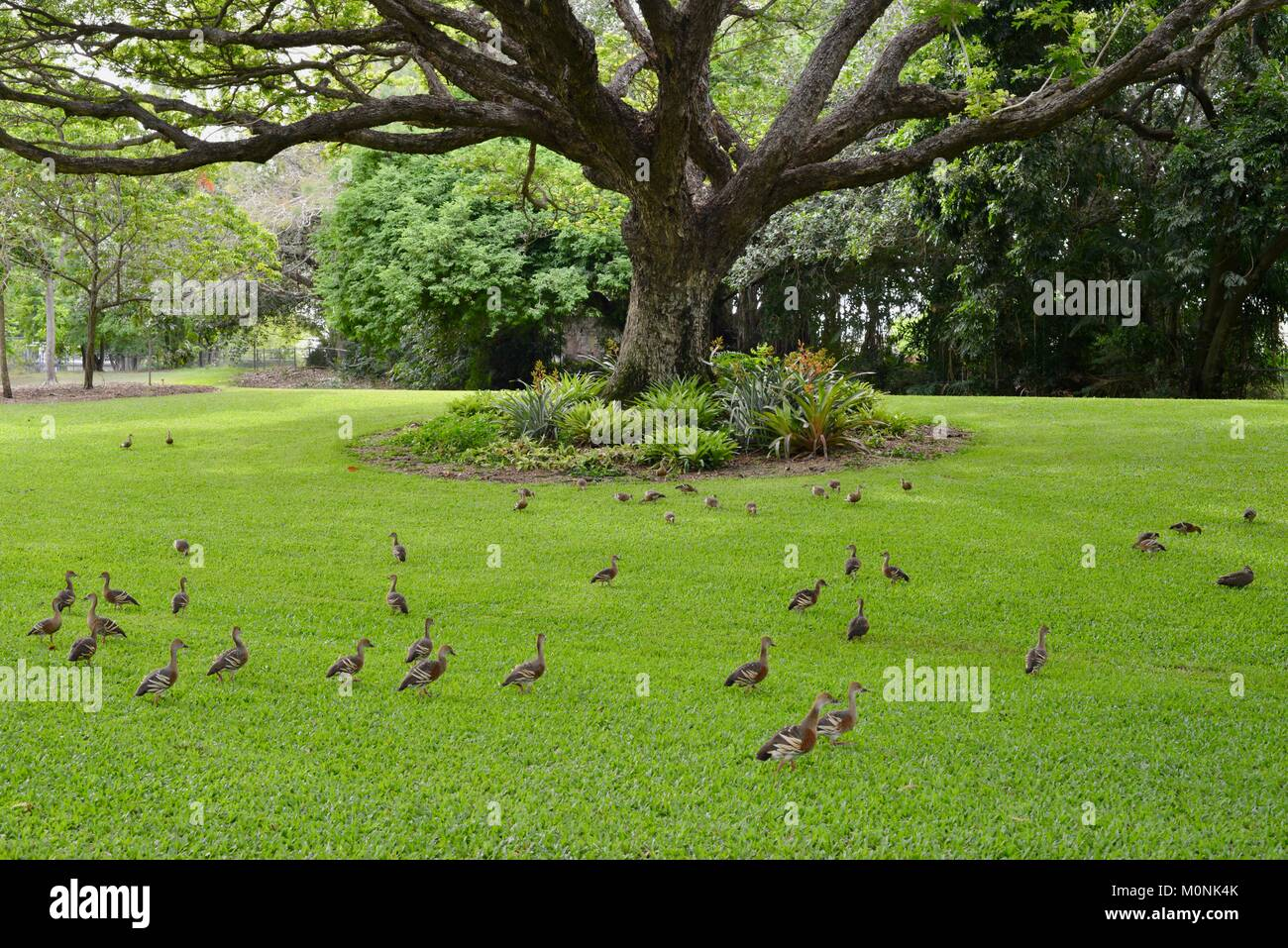 Flock of Whistling ducks under a raintree, Anderson Park Botanic Gardens, Townsville, Queensland, Australia Stock Photo
