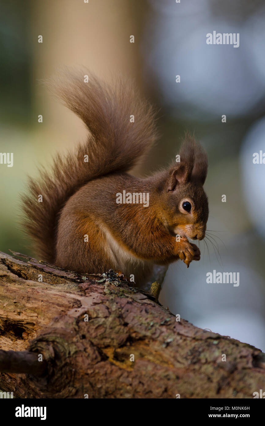 Red Squirrel Eating Nut on Tree Branch in Scotland - Stock Image