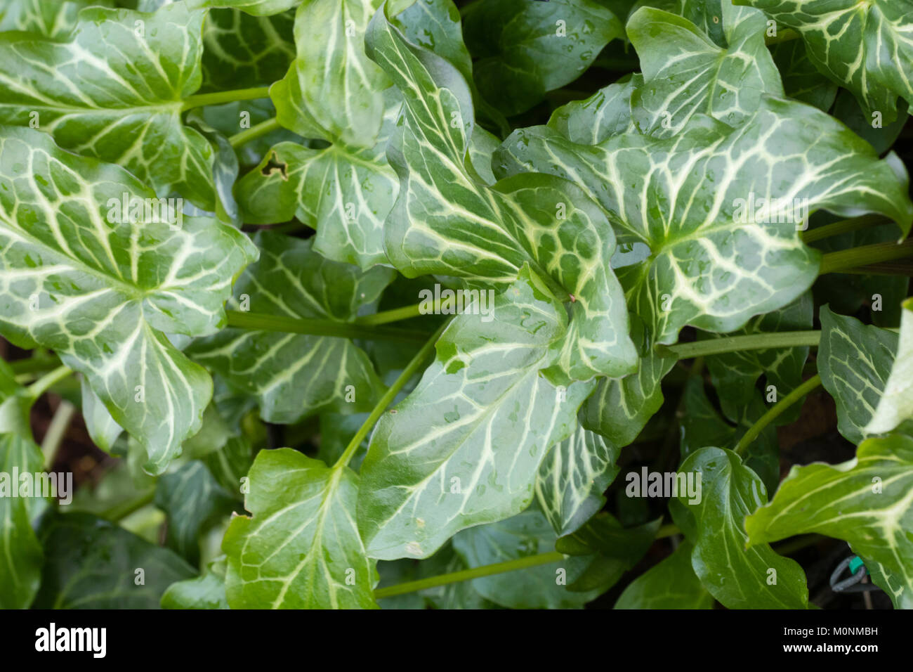 Silver netted foliage of the wintergreen perennial, Arum italicum 'Moortown Lightning' Stock Photo