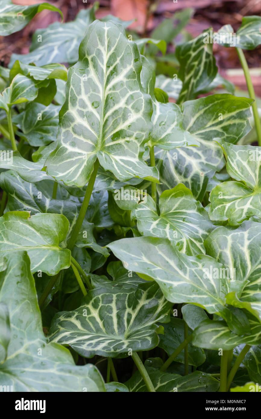 Silver netted foliage of the wintergreen perennial, Arum italicum 'Moortown Lightning' - Stock Image