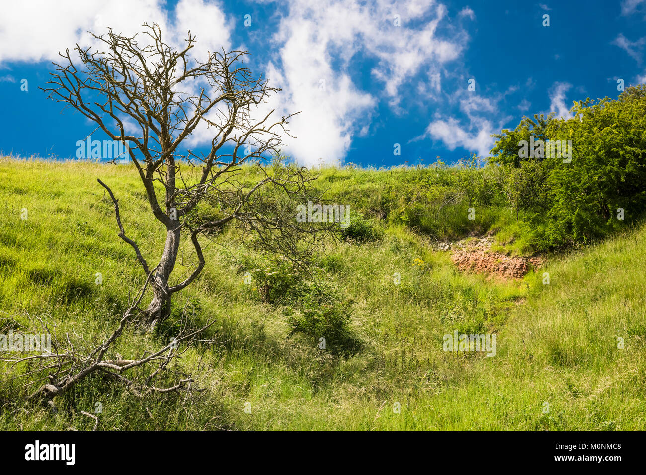 Calcareous grassland of Red Hill Nature Reserve, Lincolnshire, England, on a sunny summer day with a blue sky and - Stock Image