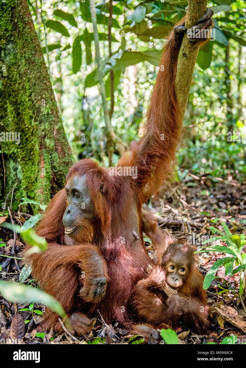 Orangutan baby and mother. Mother and cub in a natural habitat. Bornean orangutan (Pongo  pygmaeus wurmbii) in the - Stock Image