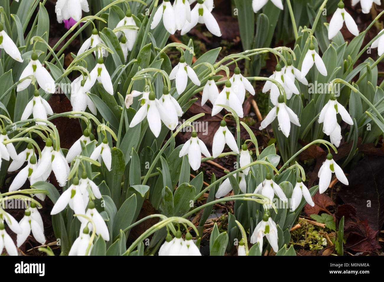 Massed display of the collector's giant snowdrop, Galanthus elwesii 'Sickle' in mid winter - Stock Image