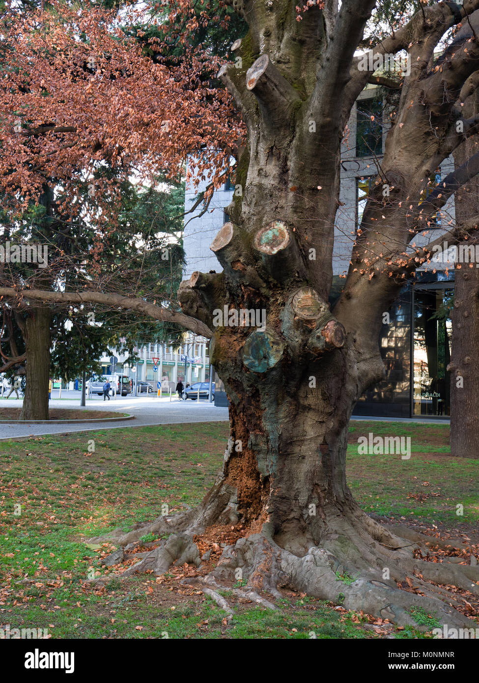 a majestic secular beech with a trunk suffering from a serious illness - Stock Image
