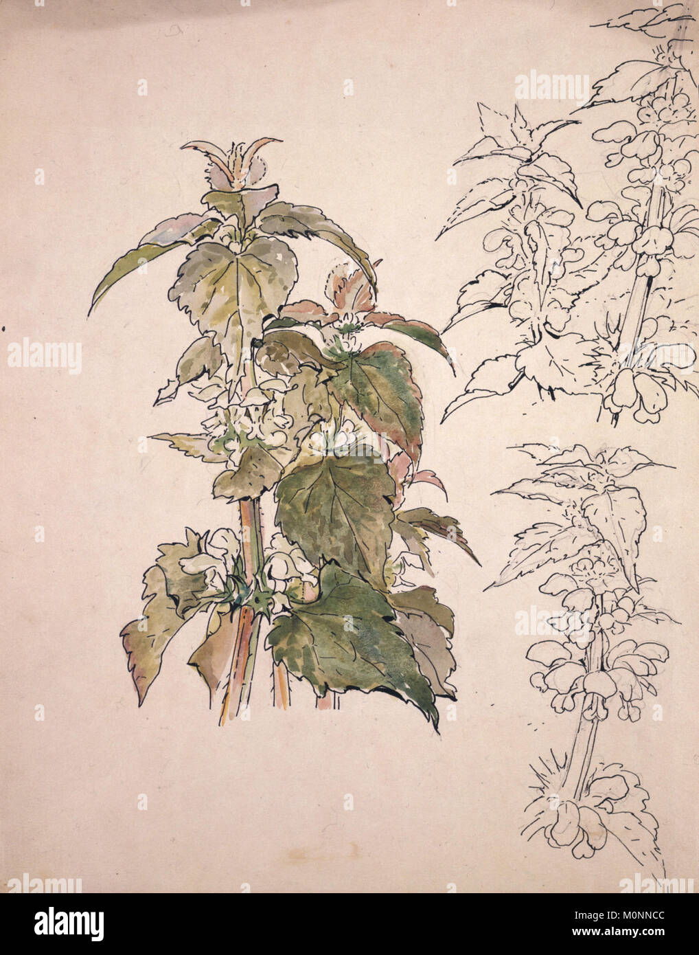 Agricultural Horticultural botanical drawing of a indigenous plant by Beatrix Potter - Stock Image