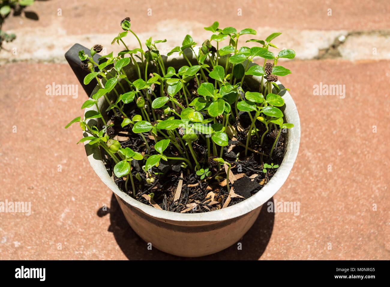 Papaya tree (Carica papaya) saplings growing from seeds (approximately one month) in old aluminum jug, Asuncion, - Stock Image