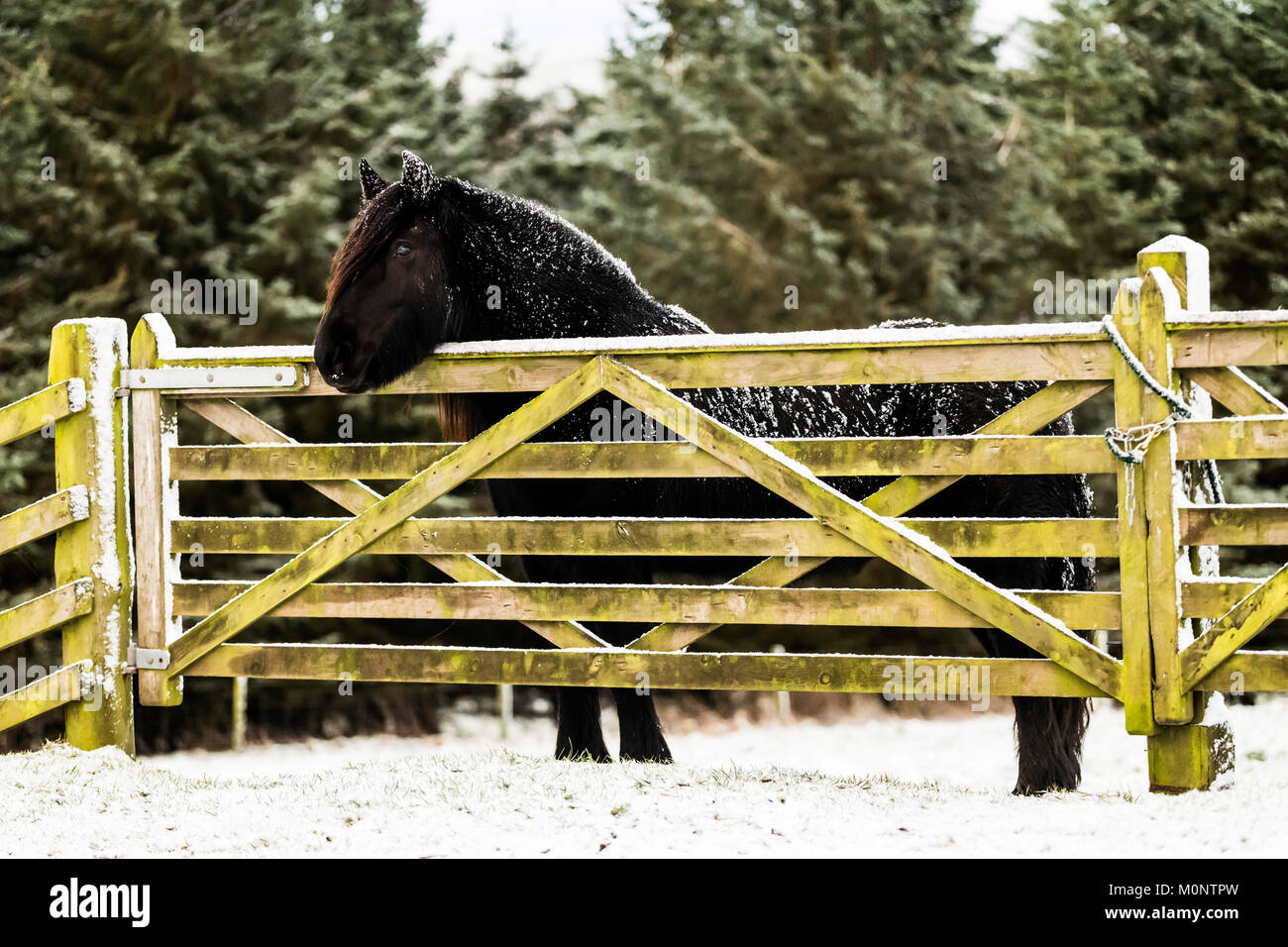 Hownam, Jedburgh, Scottish Borders, UK. 16th January 2018. A fell pony stands by a gate in a snow covered field - Stock Image